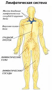 Структура лимфатической системы
